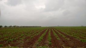 Bevattnat potatisfält royaltyfri fotografi