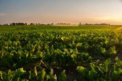 Bevattning av det jordbruks- fältet för sockerbeta Arkivbild