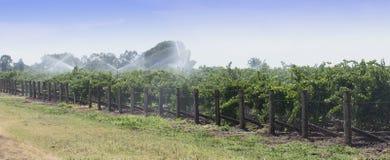 Bevattning av druvavinrankor med över huvudet spridare Royaltyfria Foton