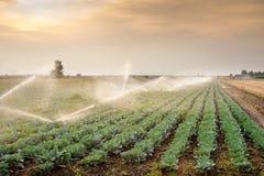 Bevattning av grönsaker Royaltyfria Bilder