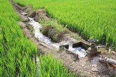 Bevattning bevattnar till rice sätter in Royaltyfria Bilder