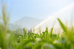 Bevattningsystem som bevattnar det unga fältet för grön havre i den jordbruks- trädgården arkivbild