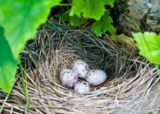 Bevederd nest met kwartelseieren stock afbeeldingen
