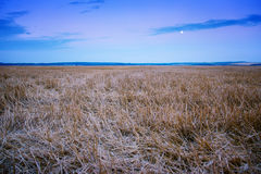 Beveled field of wheat spikelets Royalty Free Stock Image