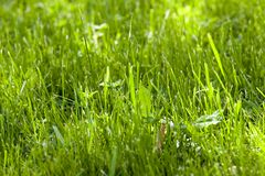 Beveled lawn. Mowed green grass growing on the lawn. Photo close-up. Small depth of field Royalty Free Stock Photos