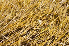 Beveled stalks of wheat closeup. Sharp parts of yellow dry wheat straw after harvesting cereal. Summer time of year. Small depth of field Stock Photos