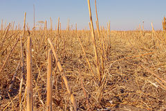 Beveled sunflower field stock images