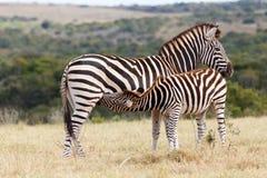 Bevendo dalla mamma - la zebra di Burchell Fotografia Stock