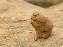 Bever любит животная морковь еды Стоковые Изображения