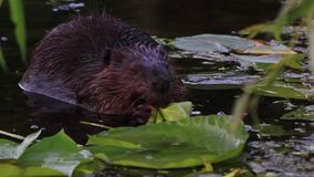 bever stock footage
