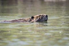 Bever die aan de oppervlakte van het water in een park langs St Lawrence River zwemmen stock afbeeldingen
