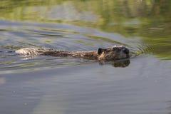 Bever in Duidelijk Water Royalty-vrije Stock Fotografie