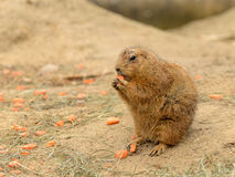 Bever Like Animal Eating Carrot Stock Images