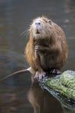 Bever rat Royalty Free Stock Photo