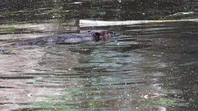 Bevercanadensis het zwemmen stock footage