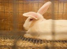 Beveren-Kaninchen Stockbild