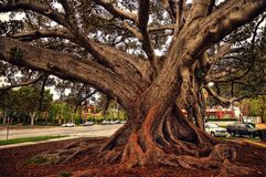 Beverly Hills Fig Tree fotografia stock libera da diritti