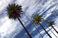 Beverly Hills Palms. Beautiful Image Of Palm Trees In Beverly Hills stock image