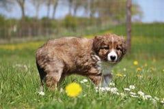 Bevindend border collie-puppy Stock Afbeelding