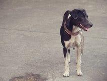 Bevindende charmante hond met het Patroonkraag van de Luipaardhuid Royalty-vrije Stock Foto's
