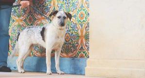 Bevindende die hond van puppy de zwart-witte metisse met mensenhand wordt gebonden Royalty-vrije Stock Foto's