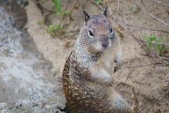 Bevindende Eekhoorn Royalty-vrije Stock Afbeelding