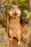 Bevindende Grondeekhoorn royalty-vrije stock afbeeldingen