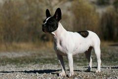 Bevindende hond stock foto's