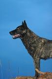 Bevindende hond en blauwe hemel Stock Foto's