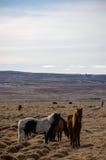Bevindende Ijslandse paarden, droog bewolkt gras, zonneschijn Royalty-vrije Stock Foto