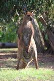 Bevindende Kangoeroe royalty-vrije stock afbeeldingen