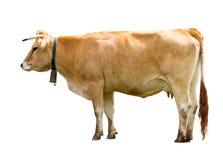 Bevindende koe Stock Afbeelding