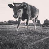 Bevindende koe Royalty-vrije Stock Afbeeldingen