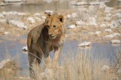 Bevindende leeuw Royalty-vrije Stock Foto's