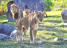 Bevindende leeuwin Royalty-vrije Stock Fotografie