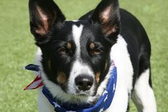 Bevindende McNab-Herder Dog Wearing Patriotic Bandana stock foto's