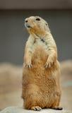 Bevindende Prairiehond stock foto's