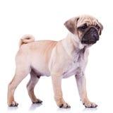 Bevindende pug puppyhond die aan een kant kijkt Stock Afbeeldingen