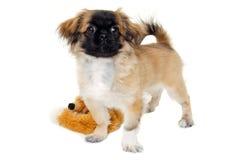 Bevindende puppyhond Stock Foto's
