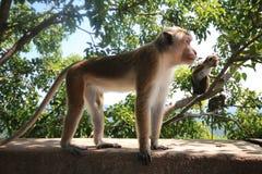 Bevindende Toque Macaque, Sri Lanka Stock Afbeelding