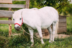 Bevindende Witte Pony Is Eating Grass At-Plattelandsboerderij Nag In Red Bridle stock fotografie