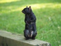 Bevindende Zwarte Eekhoorn royalty-vrije stock afbeeldingen