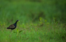 Bevingad Jacana för brons fågel Royaltyfria Bilder