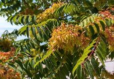 Bevingat frö Aylantus väger på filialerna av ett träd Arkivbild