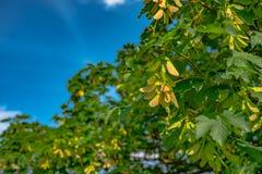 Bevingat sykomorfrö på träd Royaltyfria Foton