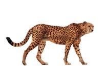 Bevlekt die jachtluipaard bij wit wordt geïsoleerd stock afbeelding