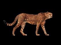 Bevlekt die jachtluipaard bij zwarte wordt geïsoleerd stock fotografie