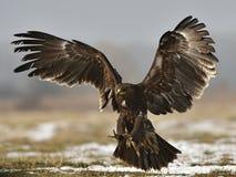 Bevlekt Eagle stock foto