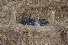 Bevlekt Eagle Owl met kuikens stock afbeeldingen