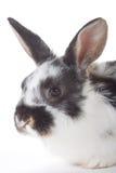Bevlekt geïsoleerdw konijntjesportret, Royalty-vrije Stock Afbeelding